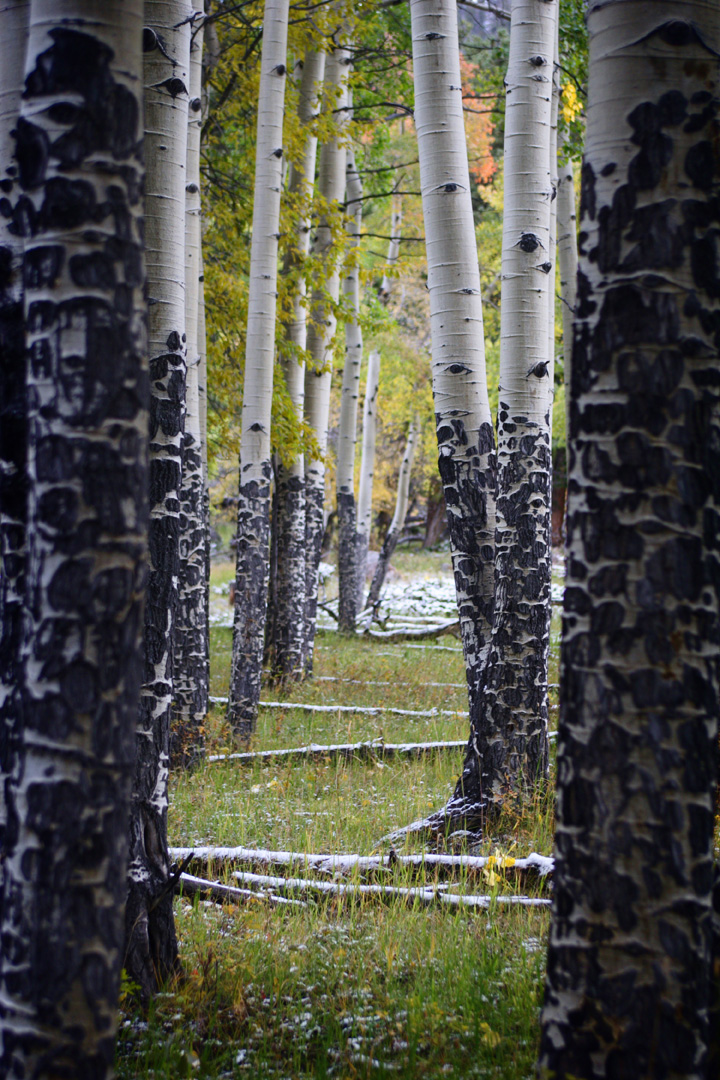 Photograph of snow and changing aspen leaves at Rocky Mountain National Park Colorado