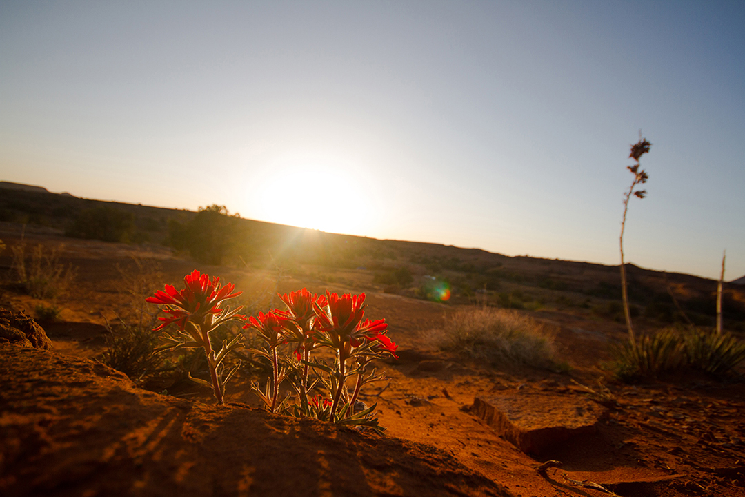 Photograph of flowers at sunrise in Canyonlands National Park Utah